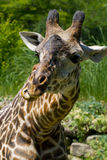 Giraffe στενός επάνω Στοκ φωτογραφίες με δικαίωμα ελεύθερης χρήσης