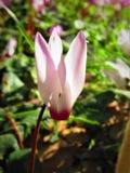 Ένας στενός επάνω των ρόδινων λουλουδιών Cyclamen Στοκ Φωτογραφίες