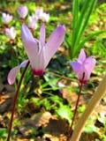 Ένας στενός επάνω των ρόδινων λουλουδιών Cyclamen Στοκ Εικόνες