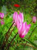Ένας στενός επάνω των ρόδινων λουλουδιών Cyclamen Στοκ φωτογραφία με δικαίωμα ελεύθερης χρήσης