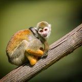 Ένας συμπαθητικός μικρός πίθηκος Στοκ φωτογραφία με δικαίωμα ελεύθερης χρήσης