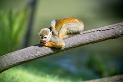 Ένας συμπαθητικός μικρός πίθηκος Στοκ Εικόνες
