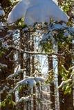 Ένας σωρός του χιονιού στους κομψούς κλάδους σε ένα χειμερινό δάσος στοκ εικόνες