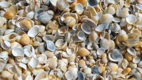 Ένας σωρός των θαλασσινών κοχυλιών στην παραλία απόθεμα βίντεο
