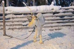 Ένας τάρανδος κέρατων σε Ruka στο Lapland στη Φινλανδία Στοκ φωτογραφία με δικαίωμα ελεύθερης χρήσης