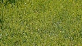 Ένας τακτοποιημένος πράσινος χορτοτάπητας απόθεμα βίντεο