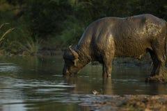 Ένας ταύρος βούβαλων που καλύπτεται στο πόσιμο νερό λάσπης στοκ φωτογραφίες με δικαίωμα ελεύθερης χρήσης