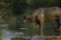 Ένας ταύρος βούβαλων που καλύπτεται στο πόσιμο νερό λάσπης στοκ εικόνα με δικαίωμα ελεύθερης χρήσης