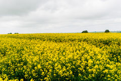 Ένας τεράστιος κίτρινος τομέας βιασμών Γεωργία Στοκ Εικόνες