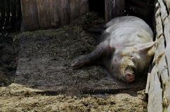 Ένας τεράστιος ύπνος χοίρων στη σιταποθήκη Στοκ φωτογραφίες με δικαίωμα ελεύθερης χρήσης