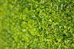 Ένας τοίχος των θερινών πράσινων βλαστών στοκ εικόνες με δικαίωμα ελεύθερης χρήσης