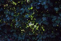 Ένας τοίχος των σκούρο πράσινο φύλλων σε ένα πλέγμα καλωδίων στοκ φωτογραφίες