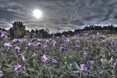 Ένας τομέας άφθονος με τα πορφυρά λουλούδια με το νεφελώδες υπόβαθρο ουρανού στοκ φωτογραφίες