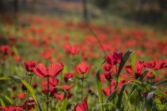 Ένας τομέας κόκκινου Anemones Στοκ Φωτογραφίες