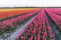 Ένας τομέας με τις τουλίπες στο βόρειο τμήμα των Κάτω Χωρών Στοκ Φωτογραφίες