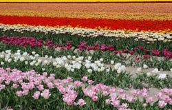 Ένας τομέας με τις τουλίπες στα διαφορετικά χρώματα το πόλντερ στοκ εικόνες με δικαίωμα ελεύθερης χρήσης
