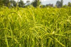 ένας τομέας ρυζιού πράσινος τομέας των ωριμασμένων εγκαταστάσεων δημητριακών Γεωργία στοκ φωτογραφία με δικαίωμα ελεύθερης χρήσης