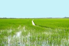 ένας τομέας ρυζιού Στοκ φωτογραφία με δικαίωμα ελεύθερης χρήσης