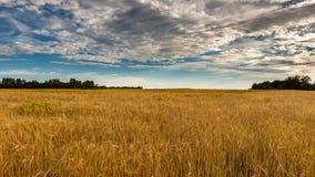 Ένας τομέας της χρυσής σίκαλης κάτω από έναν μπλε ουρανό με τα σύννεφα Στοκ Φωτογραφίες