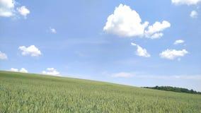 Ένας τομέας του σίτου ενάντια στο μπλε ουρανό και τα άσπρα σύννεφα απόθεμα βίντεο