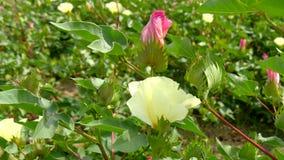 Ένας τομέας των βαμβακόφυτων με τα unripe κάρυα και του λουλουδιού με το φύλλο (4K) απόθεμα βίντεο