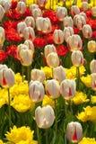 Όμορφες πολύχρωμες τουλίπες Στοκ φωτογραφίες με δικαίωμα ελεύθερης χρήσης