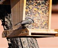 Ένας τσοπανάκος στον τροφοδότη πουλιών στοκ εικόνες
