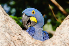 Ένας υάκινθος Macaw θέτει Coyly για τη κάμερα Στοκ Εικόνες
