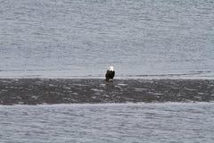 Ένας φαλακρός αετός που στέκεται σε μια παραλία στοκ φωτογραφίες