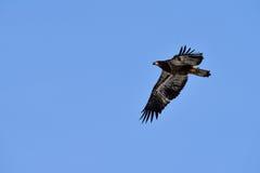 Ένας φαλακρός αετός κατά την πτήση Στοκ Εικόνα
