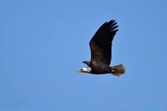 Ένας φαλακρός αετός κατά την πτήση Στοκ εικόνα με δικαίωμα ελεύθερης χρήσης