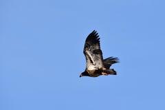 Ένας φαλακρός αετός κατά την πτήση Στοκ Εικόνες