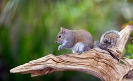 Ένας φιλικός σκίουρος κατωφλιών απολαμβάνει ένα πρόχειρο φαγητό πρωινού Στοκ Εικόνες