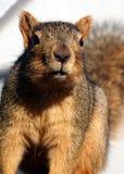 Ένας φιλικός σκίουρος στο Πόρτλαντ Όρεγκον Στοκ εικόνα με δικαίωμα ελεύθερης χρήσης
