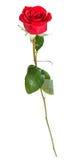 Ένας φυσικός κόκκινος αυξήθηκε λουλούδι που απομονώθηκε στο λευκό στοκ εικόνα με δικαίωμα ελεύθερης χρήσης