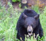 Ένας χαριτωμένος και ένας για χάδια αντέχει cub που τρώει τις πικραλίδες στοκ εικόνες με δικαίωμα ελεύθερης χρήσης