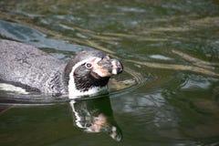Ένας χαριτωμένος λίγο penguin κολυμπά σε μια λίμνη Στοκ Εικόνα