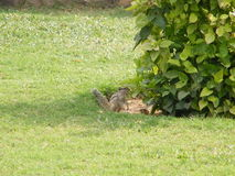 Ένας χαριτωμένος μικρός σκίουρος Στοκ Εικόνες