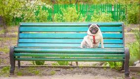 Ένας χαριτωμένος παχύς μαλαγμένος πηλός σκυλιών κάθεται σε έναν παλαιό μπλε πάγκο στοκ φωτογραφίες με δικαίωμα ελεύθερης χρήσης