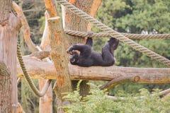 Ένας χιμπατζής σε ένα ξύλινο ικρίωμα Στοκ Εικόνα