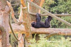 Ένας χιμπατζής σε ένα ξύλινο ικρίωμα Στοκ φωτογραφία με δικαίωμα ελεύθερης χρήσης
