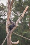Ένας χιμπατζής σε ένα ξύλινο ικρίωμα Στοκ Εικόνες