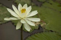 Ένας χλωμός - κίτρινο λουλούδι Lotus Στοκ Εικόνες
