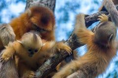 Ένας χρυσός με κοντή μύτη πίθηκος μωρών στα όπλα του γονέα του στοκ φωτογραφία με δικαίωμα ελεύθερης χρήσης