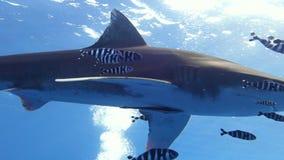 Ένας ωκεάνειος άσπρος καρχαρίας ακρών απόθεμα βίντεο