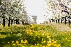 Ένας όμορφος, ανθίζοντας οπωρώνας την άνοιξη, ηλιόλουστη ημέρα Στοκ Εικόνες