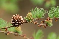 Ένας όμορφος κλάδος ενός αγριόπευκου, δέντρο, ευρωπαϊκά, decidua Larix, που αυξάνεται στη δασώδη περιοχή στο UK στοκ φωτογραφίες με δικαίωμα ελεύθερης χρήσης