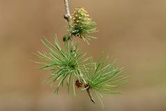 Ένας όμορφος κλάδος ενός αγριόπευκου, δέντρο, ευρωπαϊκά, decidua Larix, που αυξάνεται στη δασώδη περιοχή στο UK στοκ εικόνα με δικαίωμα ελεύθερης χρήσης