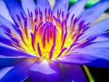 Ένας όμορφος κρίνος του λουλουδιού λωτού Στοκ Εικόνες