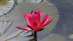 Ένας όμορφος κόκκινος κρίνος νερού στοκ φωτογραφία
